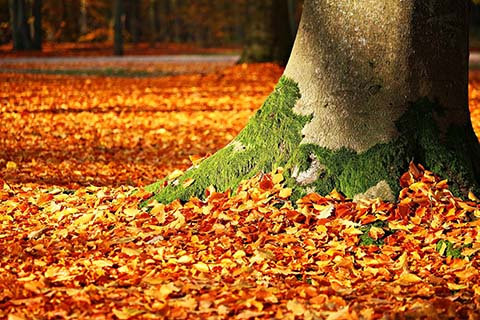 Fallen leaves at the foot of a tree