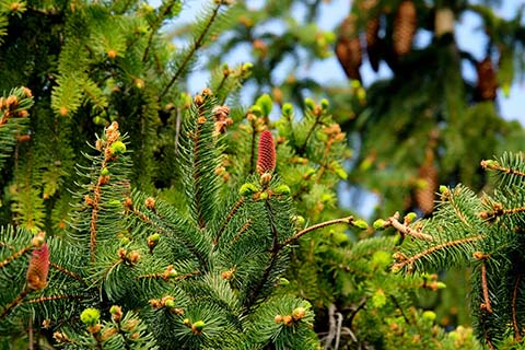 Evergreen spruce trees with growing pine cones