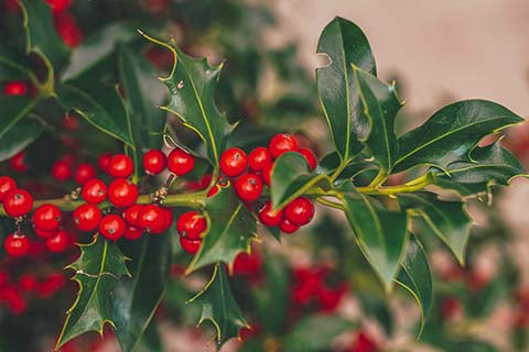 Dark green holly tree with red berries