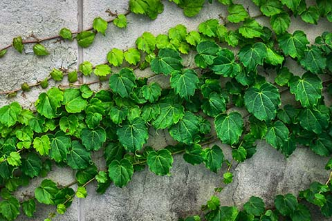 Evergreen ivy plant clinging to a wall