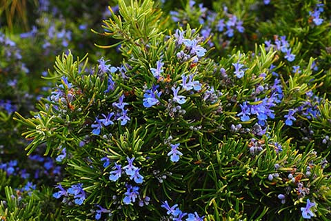 Evergreen rosemary plant with blue flowers
