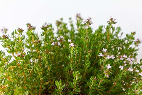Delicate stems of thyme with tiny pink flowers