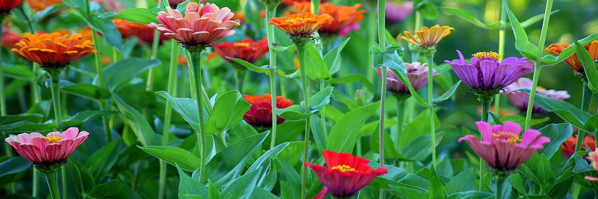 Field of brightly coloured zinnias