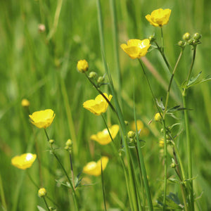A meadow of yellow buttercups
