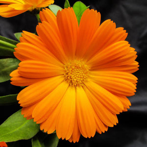 Close up photo of a bright orange calendula flower with green leaves