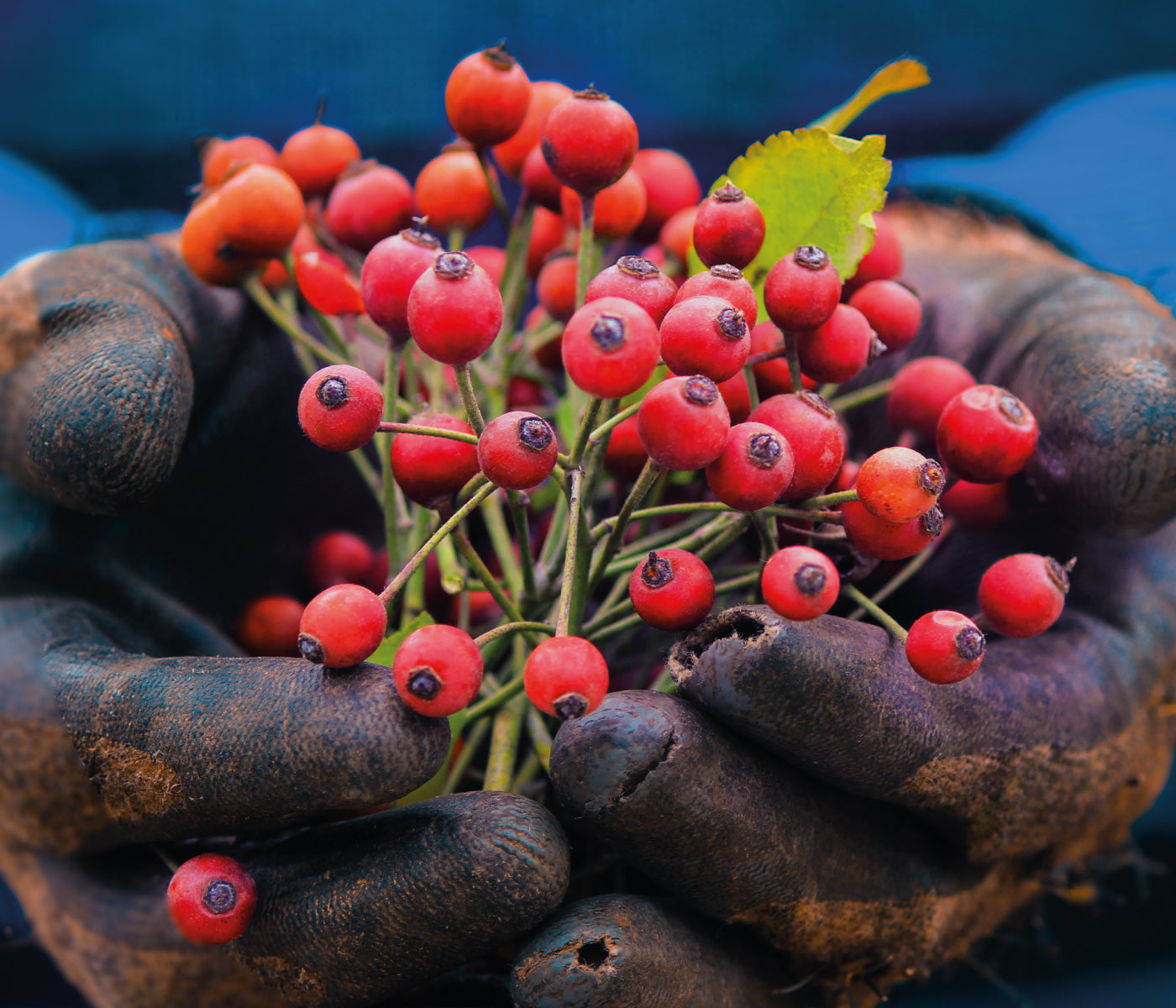 This is an image for why is rosehip the main ingredient for the timekeeper on www.sublimelife.in