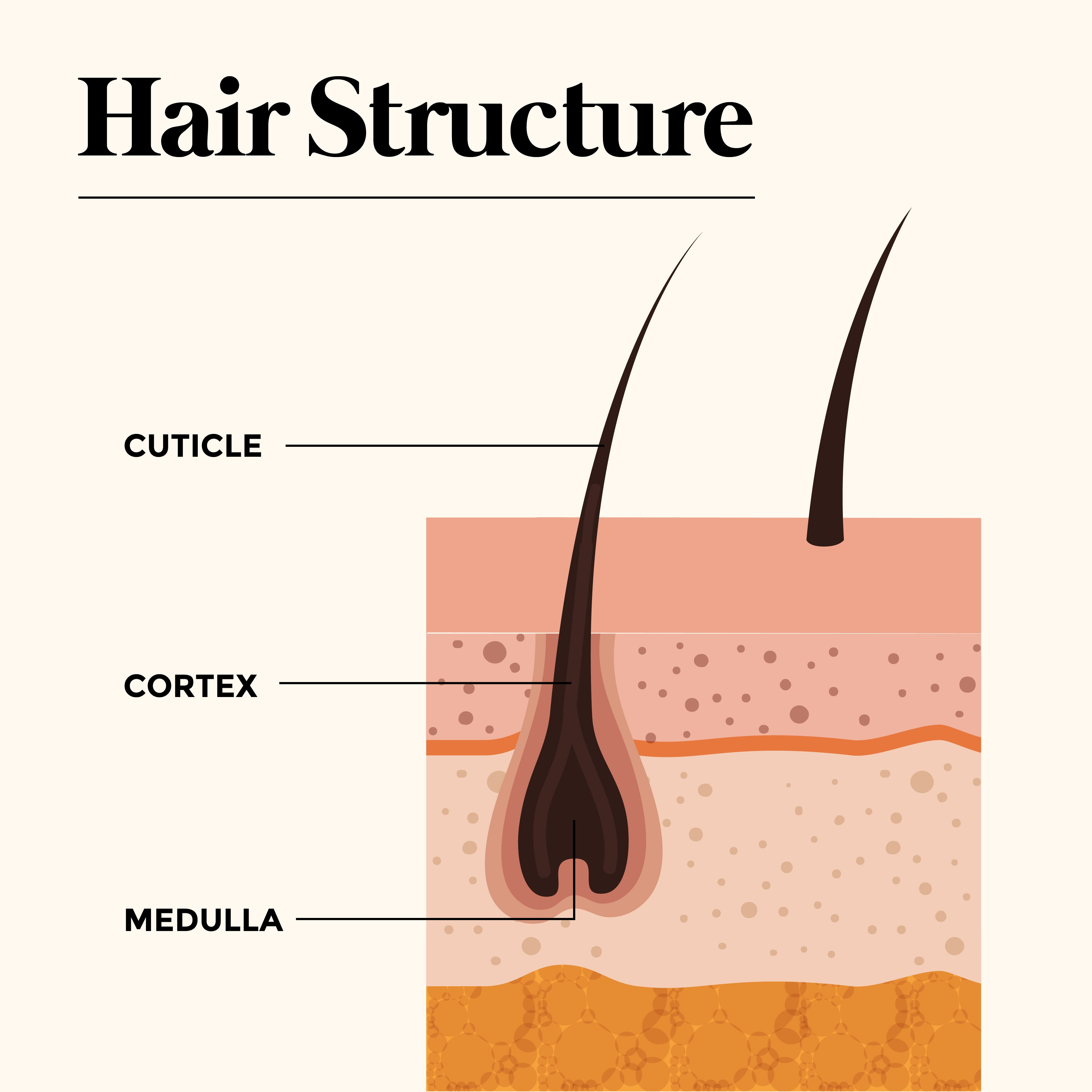 This is an image of Know your Hair Structure on www.sublimelife.in