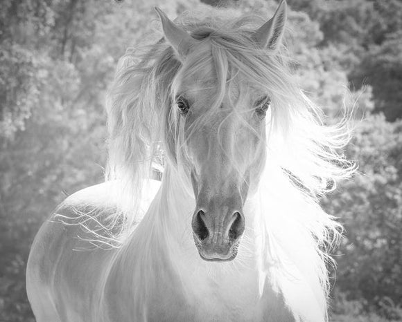 Andalusian Stallion's White Mane