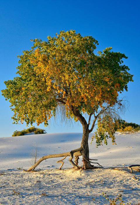 White Sands Cottonwood