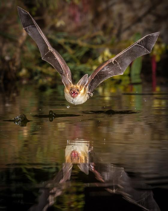Pallid Bat Getting a Drink