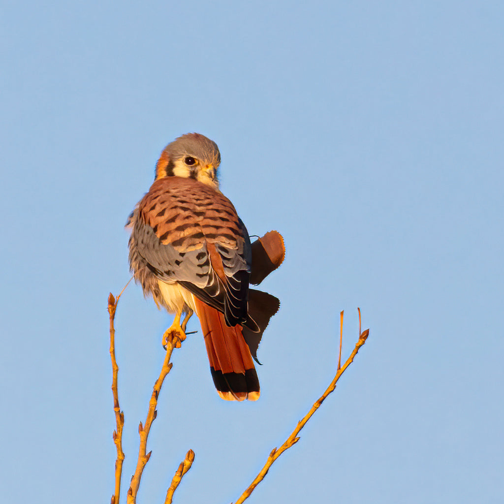 Bird Series 2 - American Kestrel