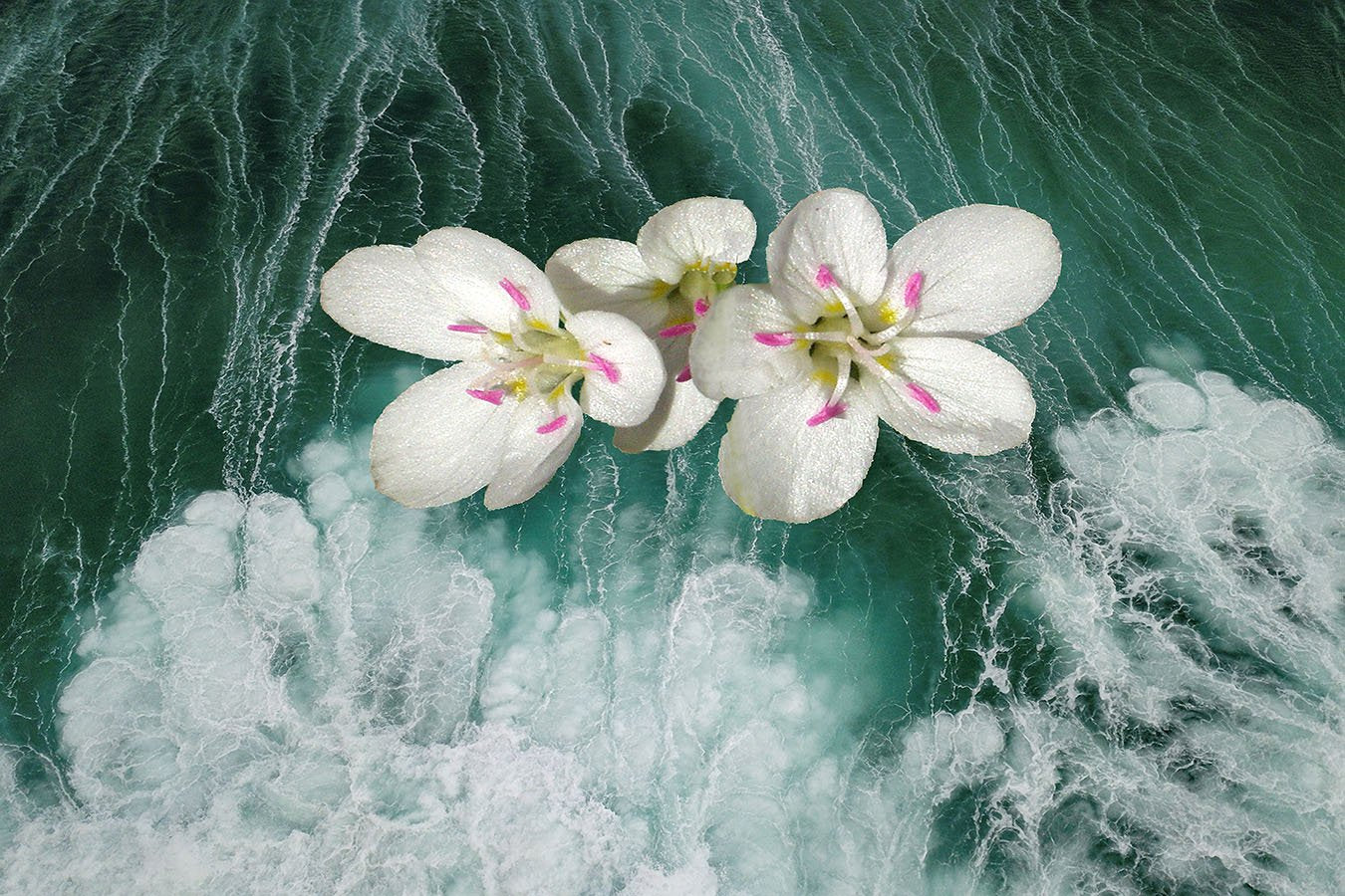 Claytonia with Surf