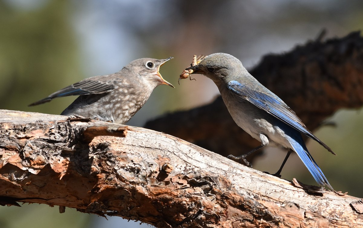 Snack for a Bluebird Chick