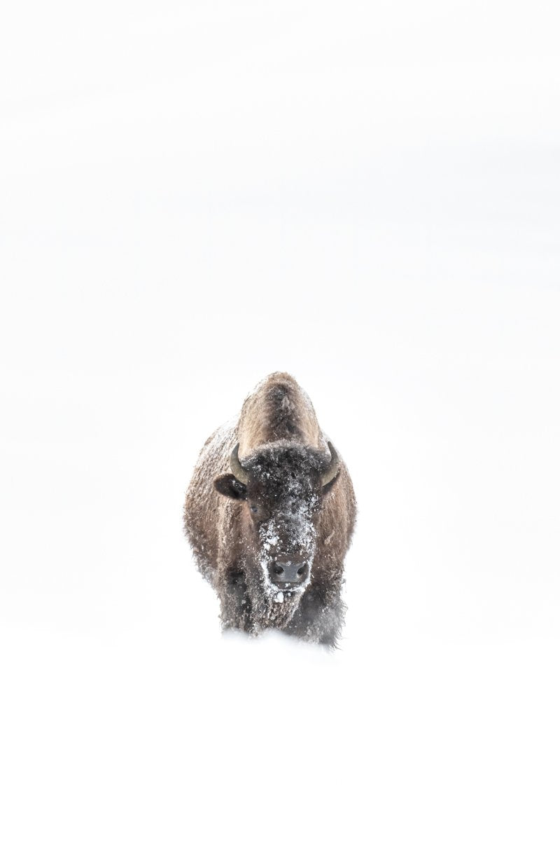 Lone Yellowstone Bison