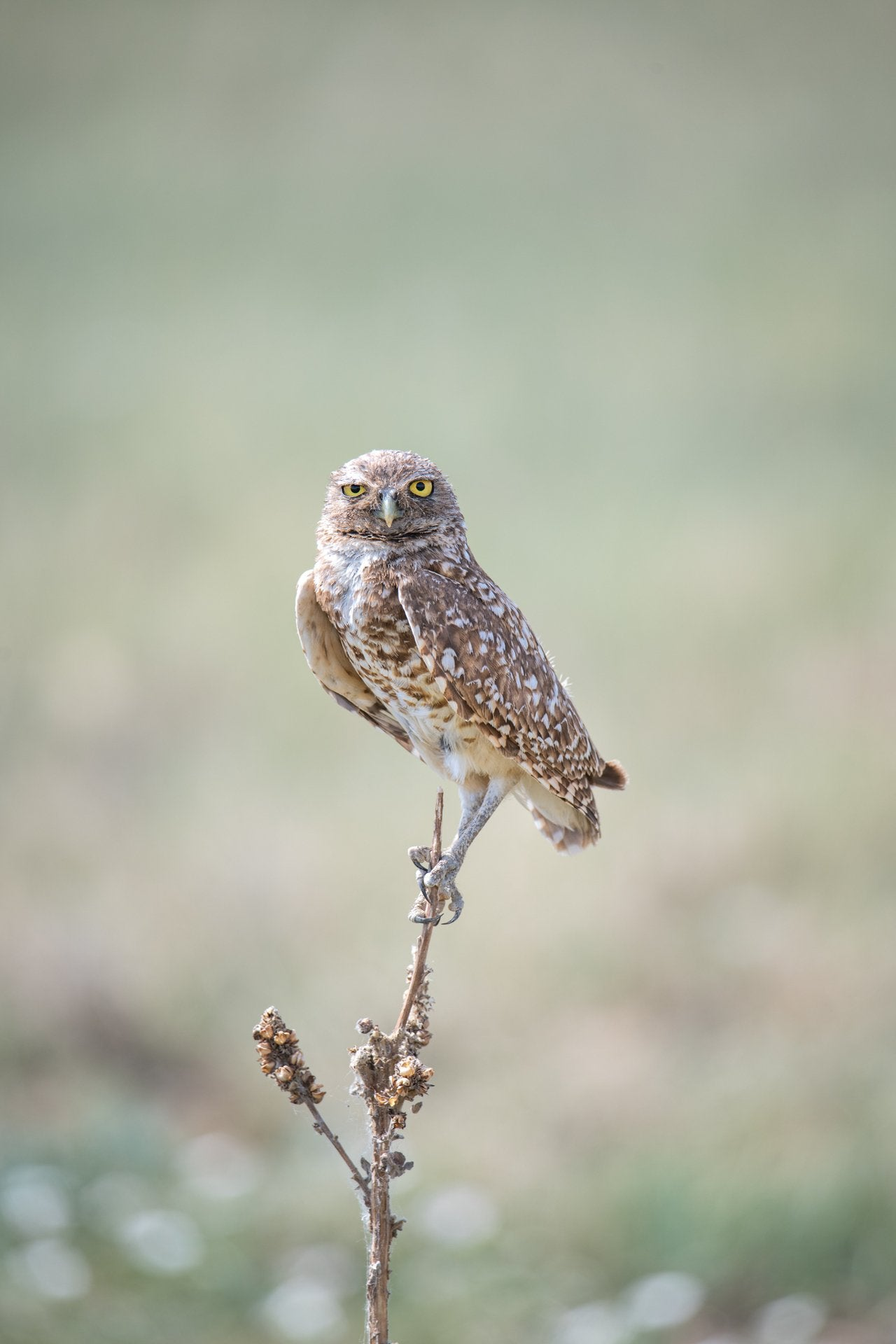 Burrowing Owl Focused on the Prize