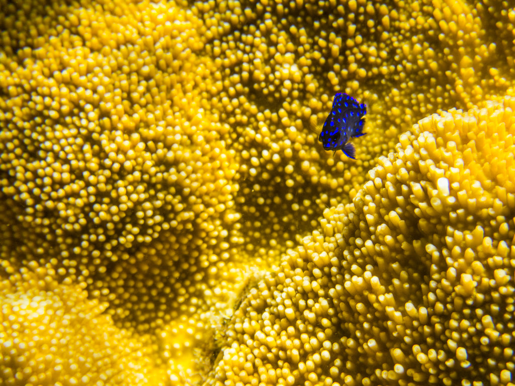 Juvenile Yellowtail Damselfish