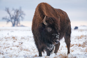 The Snowy Bison