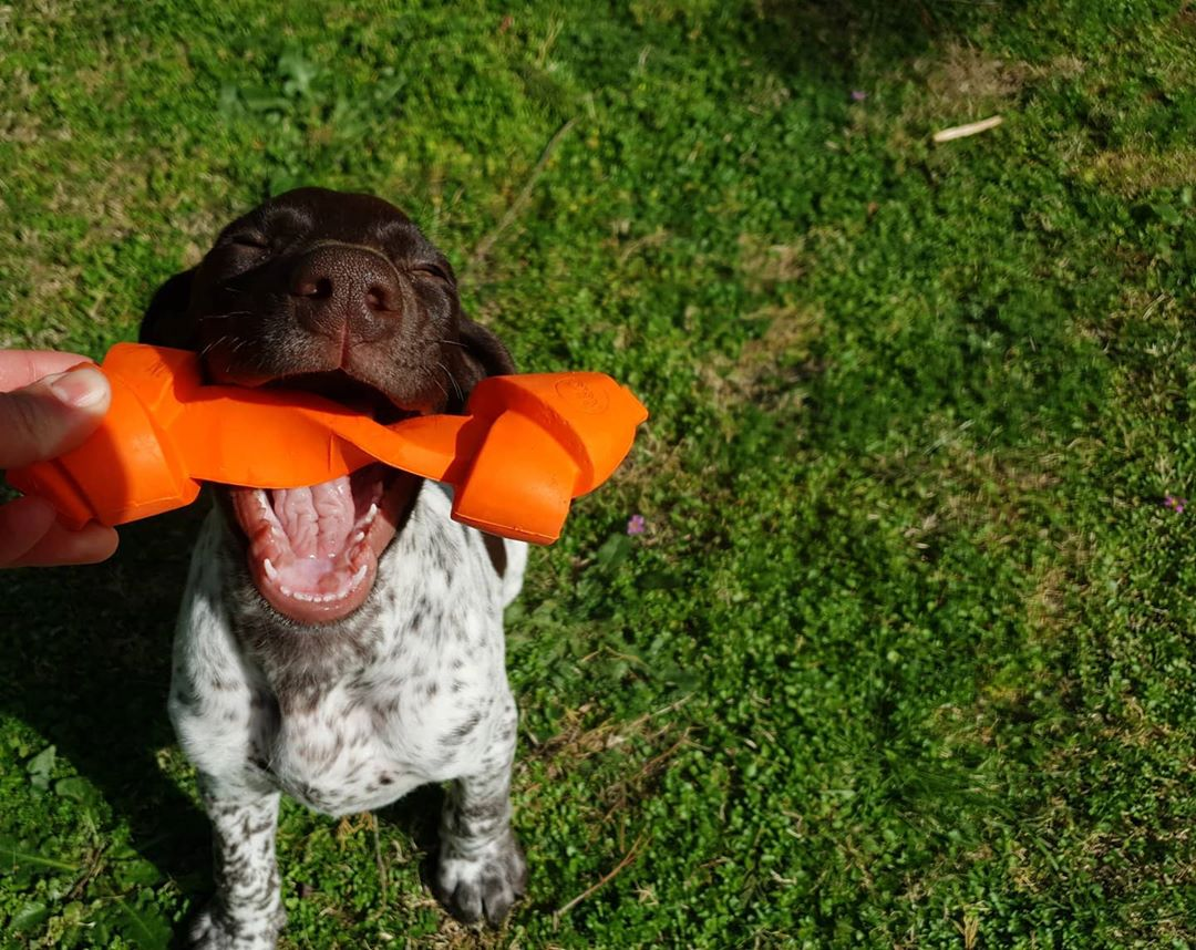 @ar.chie.gsp having the best time of his life with the Natural Rubber Chew Toy by Rufus & Coco