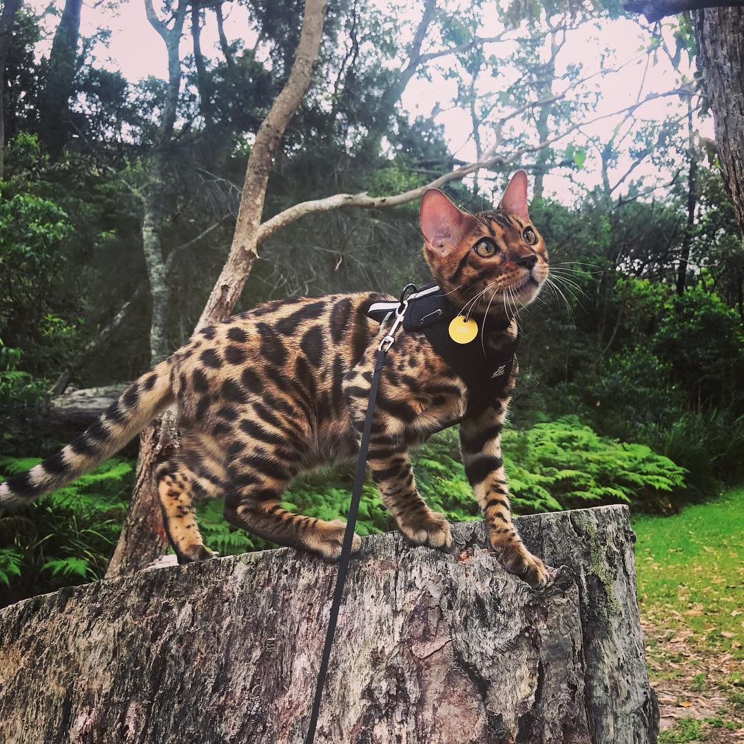 @leo_the_little_leopard with Soft Mesh Cat Harness by Rufus & Coco