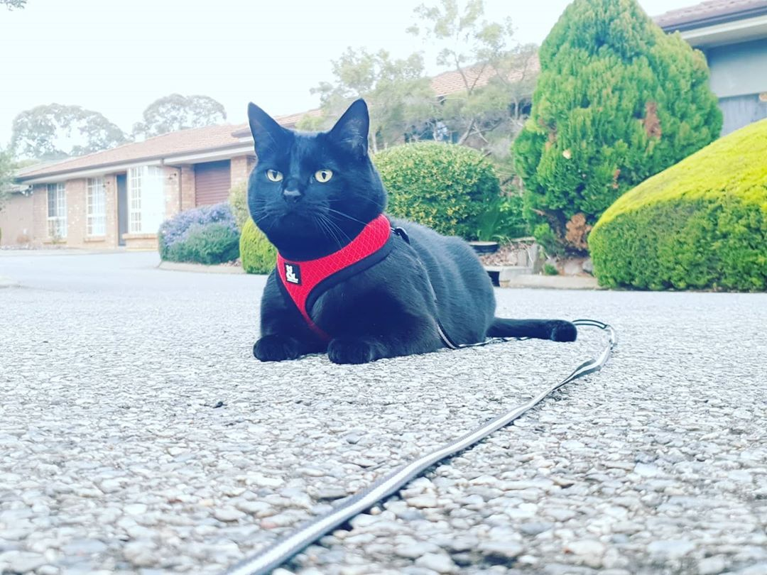 @sarah_navi with Soft Mesh Cat Harness by Rufus & Coco