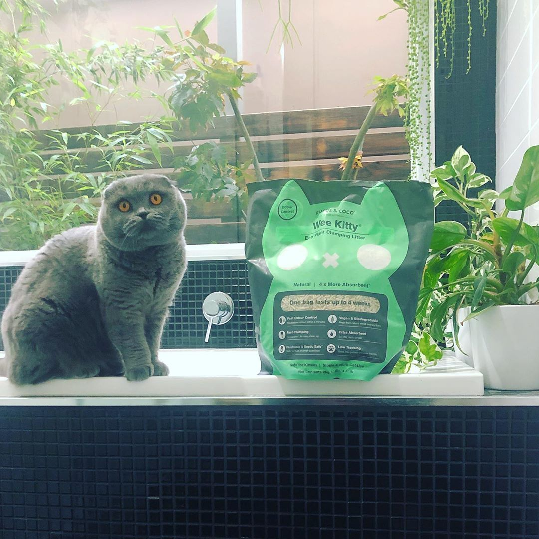 atlas_scottish_fold with Wee Kitty Cat Litter by Rufus and Coco