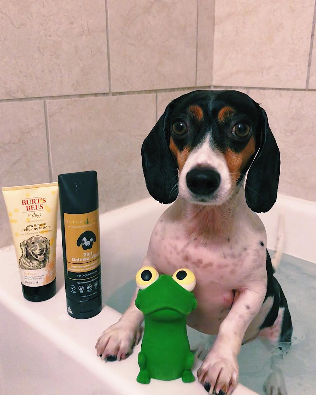 @weenieboycarl with 2in1 Oatmeal Wash by Rufus & Coco