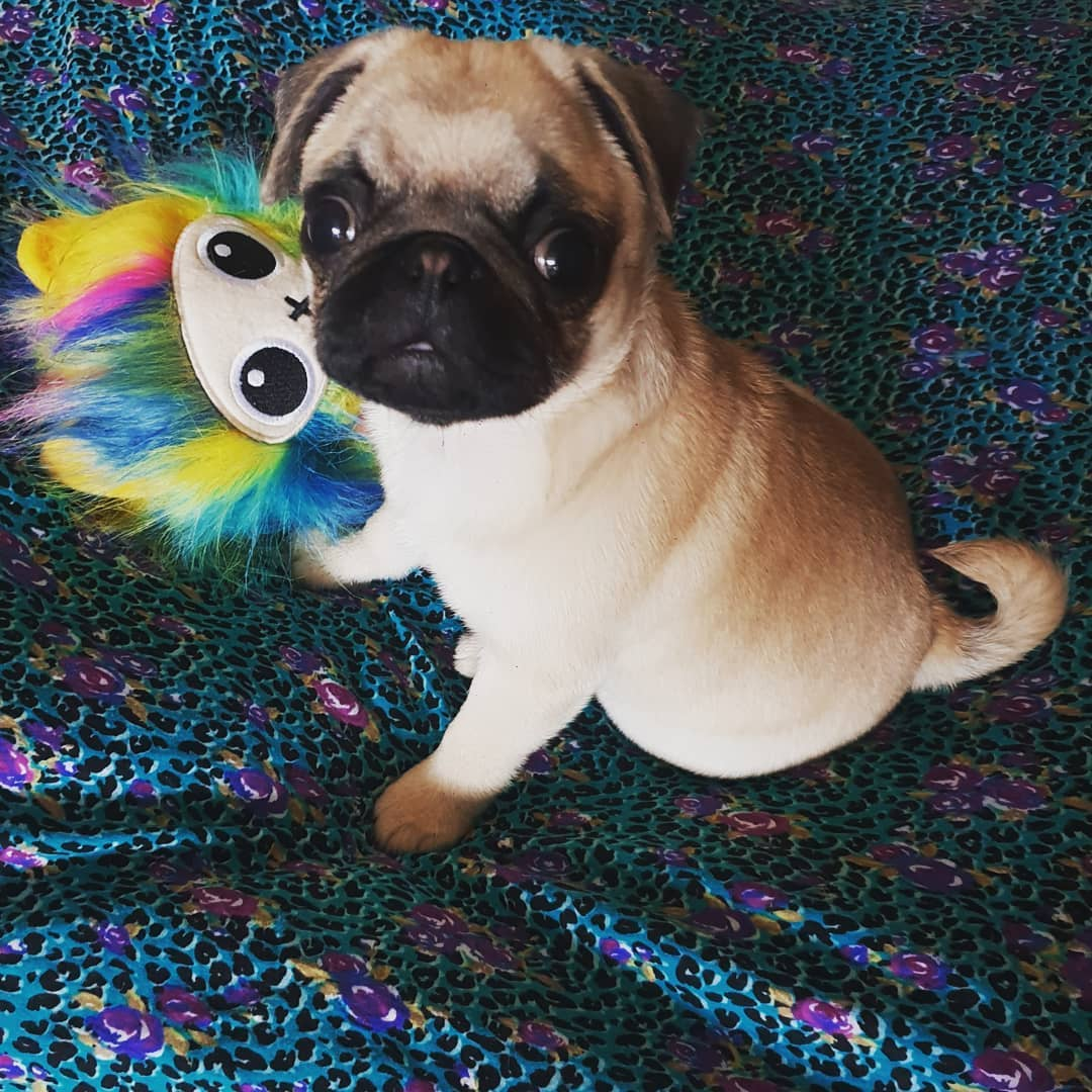 @___coco_the_pug___ playing with Tuff Fluff Snuggle Dog Toy hard to destroy