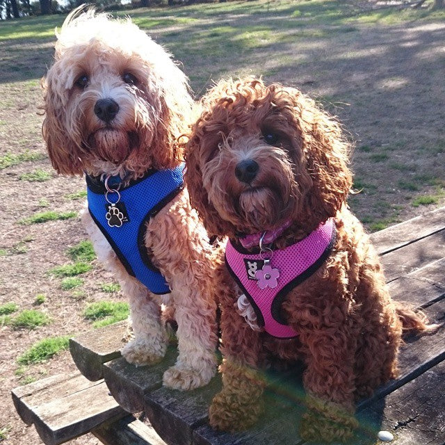 @bearsandbuttons with Soft Mesh Dog Harness by Rufus & Coco