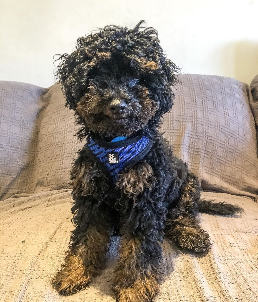 @brunothe.cavoodle wearing the new blue print colour of soft mesh harness by Rufus and Coco