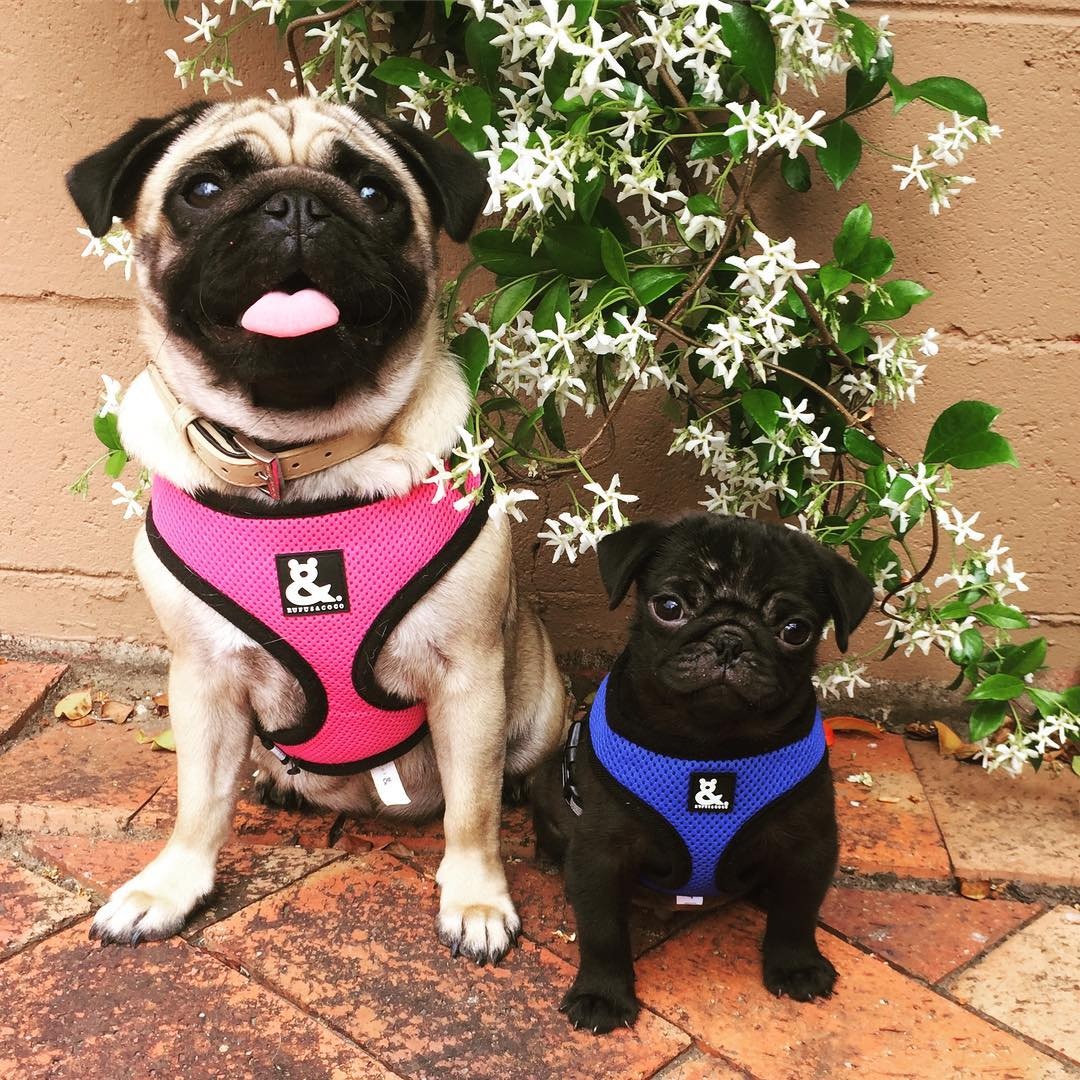 @that_pug_diesel with Soft Mesh Dog Harness by Rufus & Coco