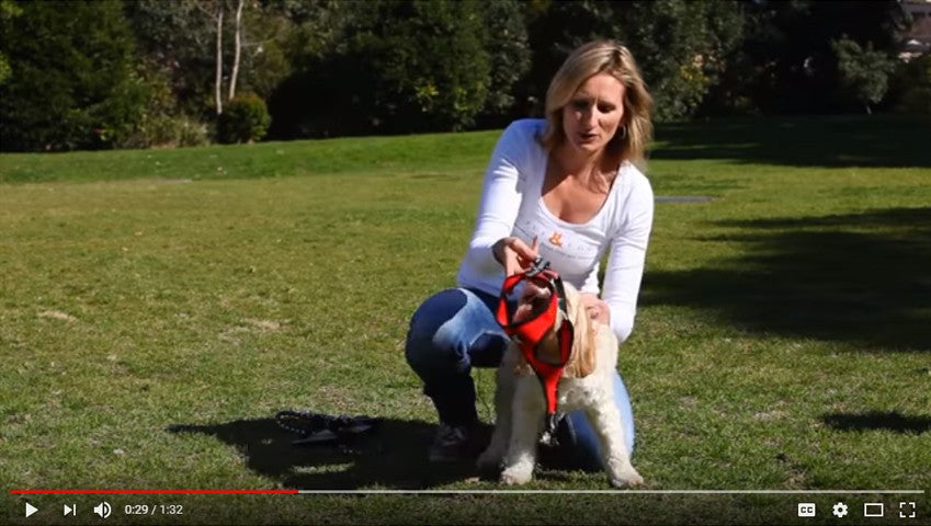How to fit a dog harness