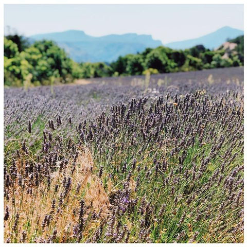 Ingredient Spotlight: Lavender (and terpenes!) | b. products