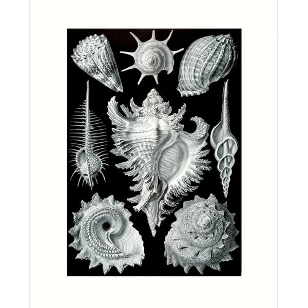 Ernst Haeckel Shell Card