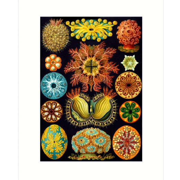 Haeckel Sponge Card