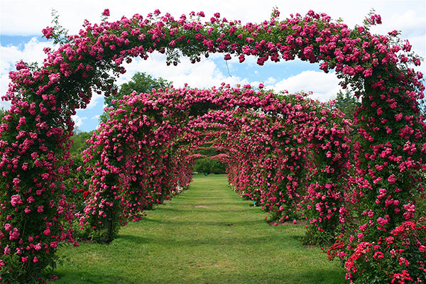 Rose Bed / Arch - 6 years