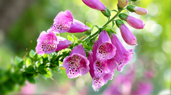 Digitalis, Fingergut Blume, Pink