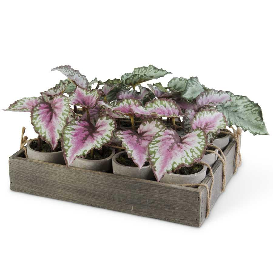 Potted Leafy Begonia