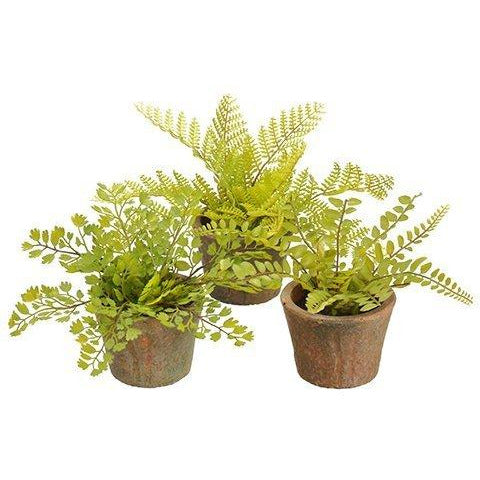 Ferns in Terra Cotta Pots