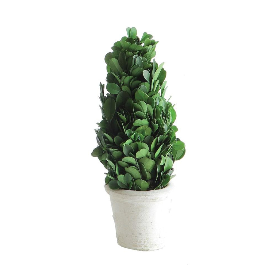 Preserved Boxwood Cone Topiary in White Clay Pot - Medium