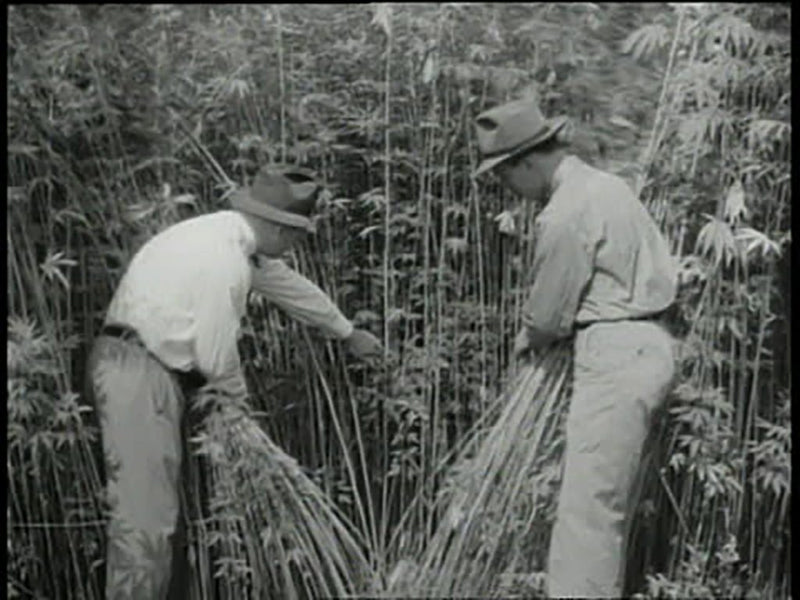 HEMP OFFERS A HEALTHY HARVEST FOR FARMERS