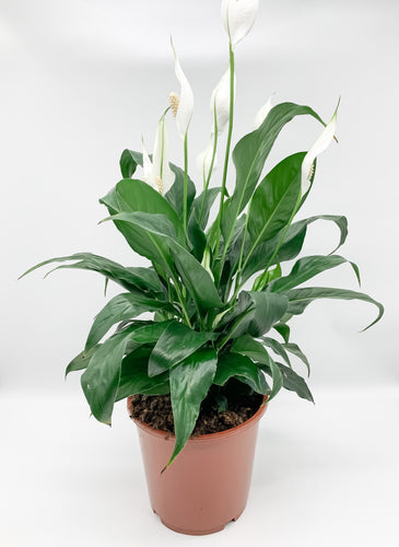 Peace Lily, 190mm