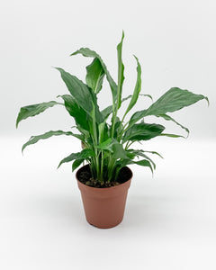 Spathiphyllum Peace Lilly, 120