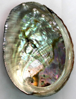 Blue Abalone Shell - 3-4