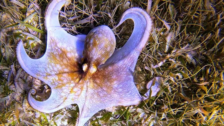 Photo of lilac coloured Caribbean Reef Octopus on grass