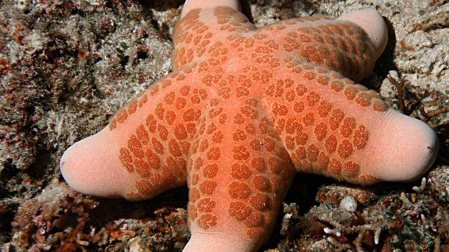 An above perspective of a choriaster starfish