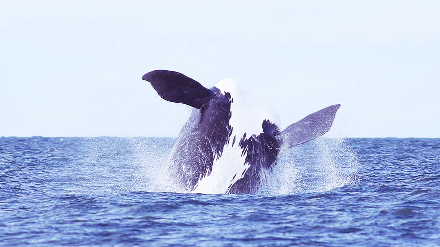 An endangered breaching North Atlantic right whale