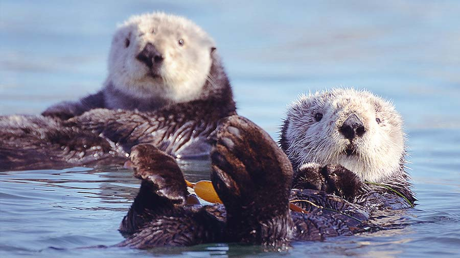 Two Sea Otters swimming on their back
