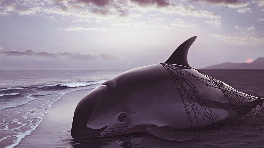 Endanger Marine Vaquita Porpoise washed ashore in shallow water