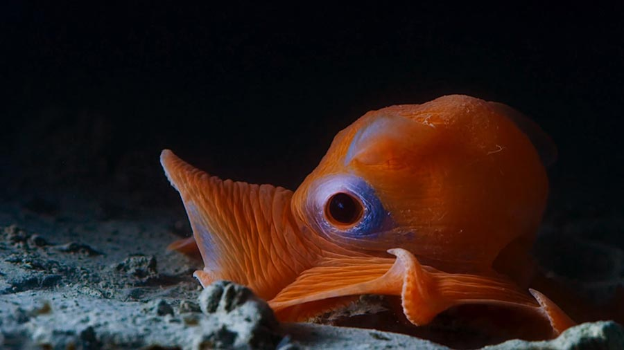 Cute photo of a Flapjack Octopus at night