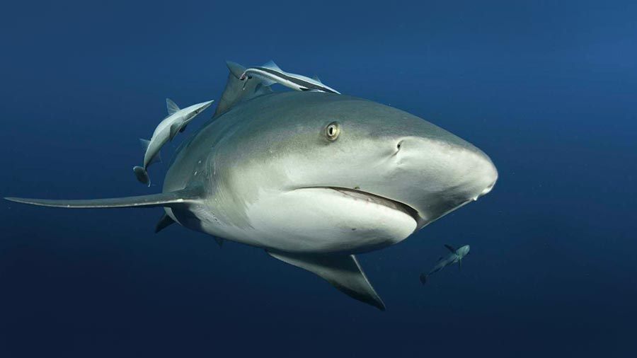Face to face view of Adult Bull shark in freshwater